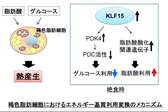 褐色脂肪組織の熱産生におけるエネルギー基質利用調節に関する研究